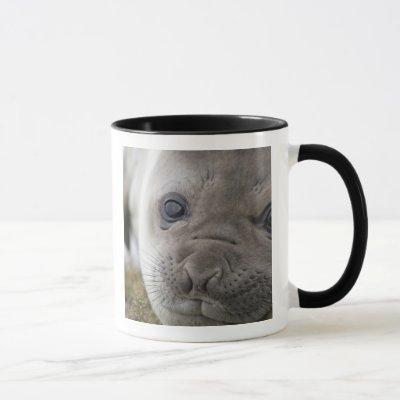 Elephant seal Mirounga leonina) cub in the Mug