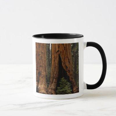Redwood Trees, Sequoia National Park. Mug